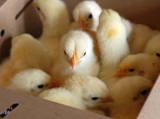 Alemania prohibirá la trituración de pollitos machos recién nacidos