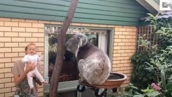 Bebé ve por primera vez a un koala