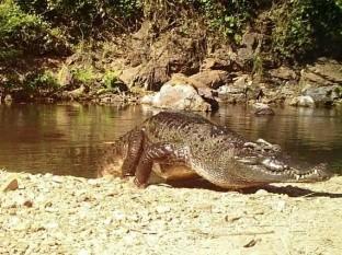 Captan a un cocodrilo de Siam, especie en peligro de extinción
